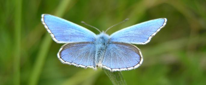 Male adonis blue - Photo by Sophie Lenham/BBOWT